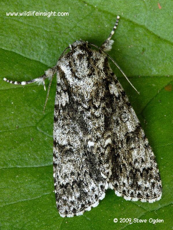 Knot Grass (Acronicta rumicis) moth © 2009 Steve Ogden