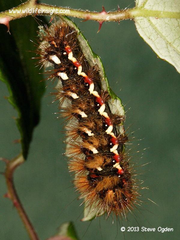 Knot Grass caterpillar (Acronicta rumicis) © 2013 Steve Ogden