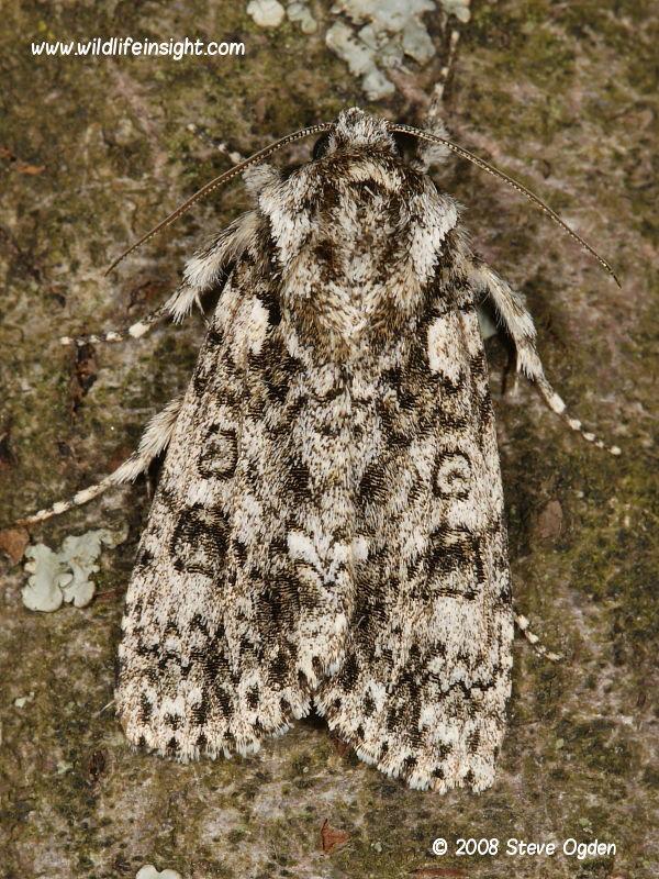 Knot Grass (Acronicta rumicis) moth © 2008 Steve Ogden