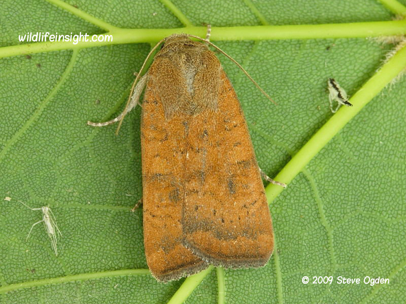 Least Yellow Underwing (Noctua interjecta) © 2009 Steve Ogden