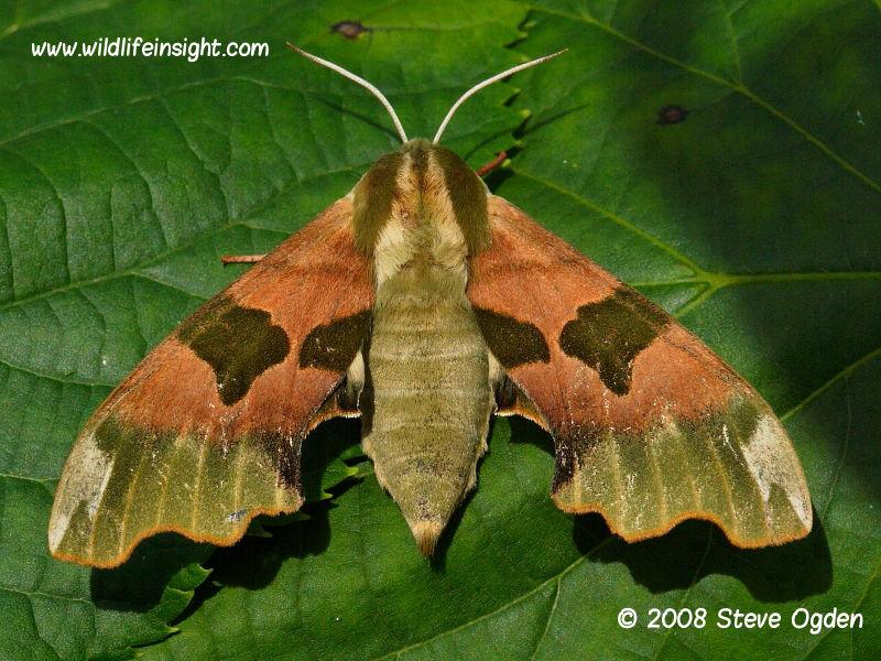 Lime Hawk-moth female (Mimas tiliae) © 2008 Steve Ogden