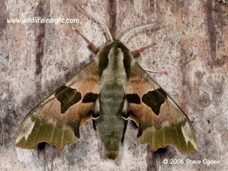 Lime Hawk-moth male (Mimas tiliae) © 2006 Steve Ogden