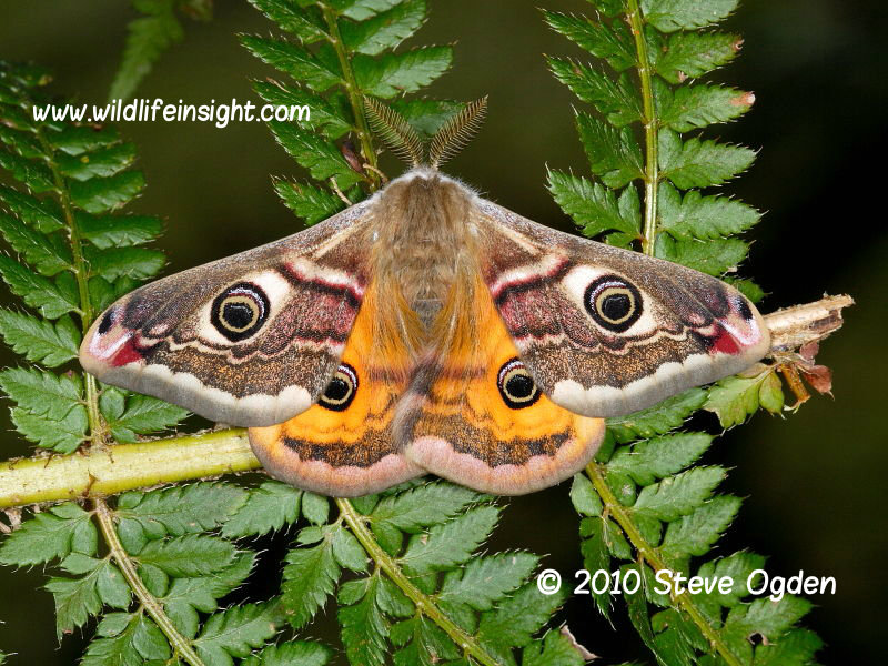 Male Emperor moth © 2010 Steve Ogden