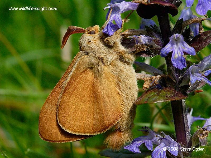Recently emerged male Fox Moth © 2008 Steve Ogden