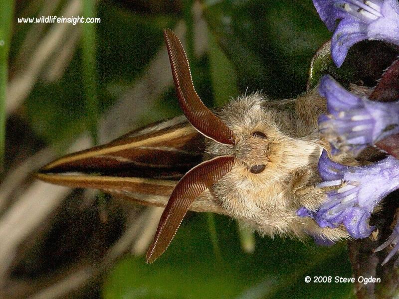 Male Fox moth  (Macrothylacia rubi) © 2008 Steve Ogden