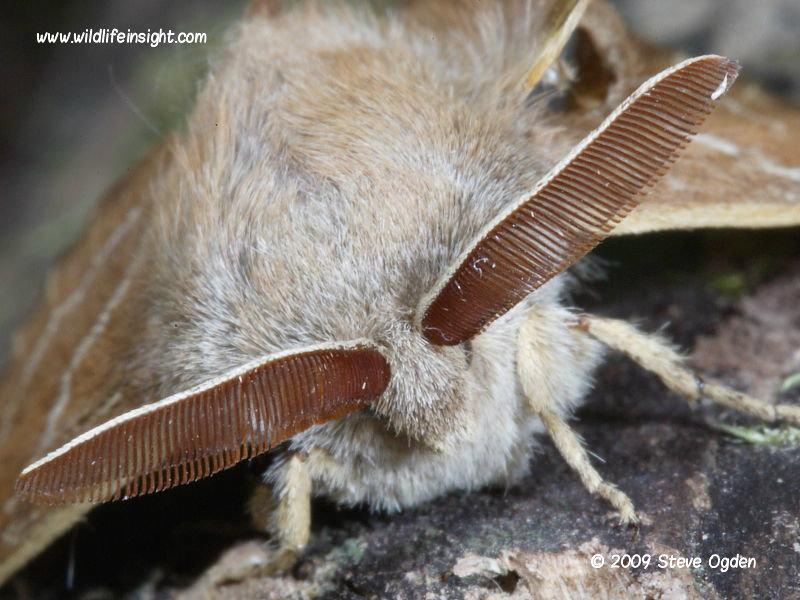 Male Fox moth combed antennae © 2009 Steve Ogden