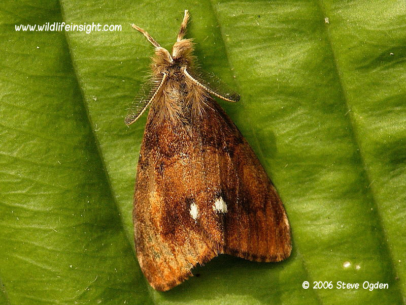 Male vapourer moth Orygia antigua © 2006 Steve Ogden