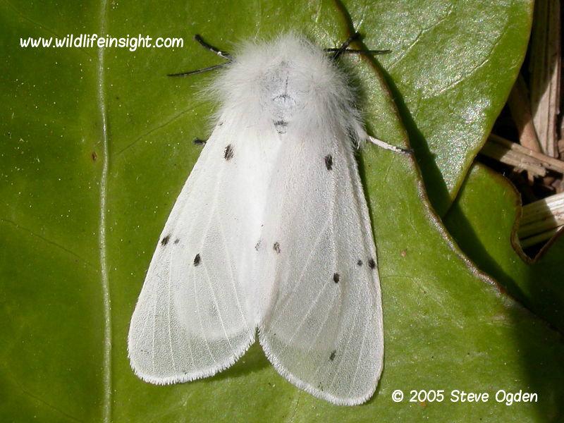 Female Muslin Moth