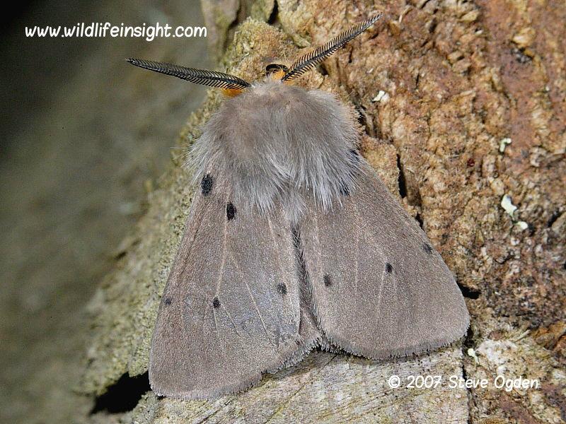 Male Muslin Moth - Diaphora mendica