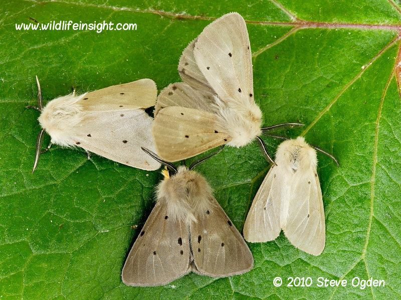 Different coloured forms of male Muslin Moth attracted to light