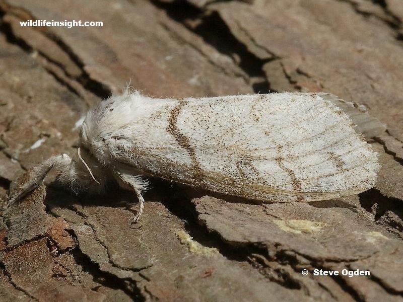 Female Pale Tussock moth (Calliteara pudibunda) - photo Steve Ogden