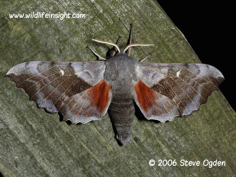 Poplar Hawk-moth (Laothoe populi) © 2006 Steve Ogden