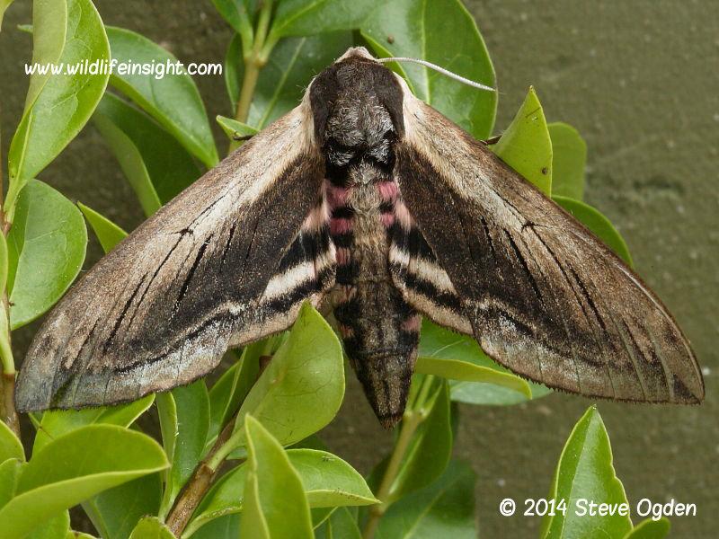 Privet Hawkmoth (Sphinx ligustri) © 2014 Steve Ogden