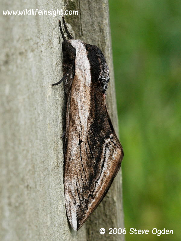 Privet Hawkmoth (Sphinx lugistri) on fence post © 2006 Steve Ogden