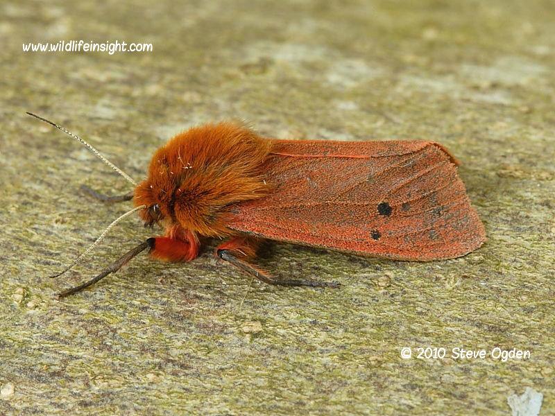 Ruby Tiger moth (Phragmatobia fuliginosa)  © 2010 Steve Ogden