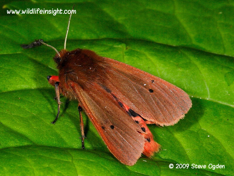 Ruby Tiger (Phragmatobia fuliginosa) showing red and black abdomen  © 2013 Steve Ogden