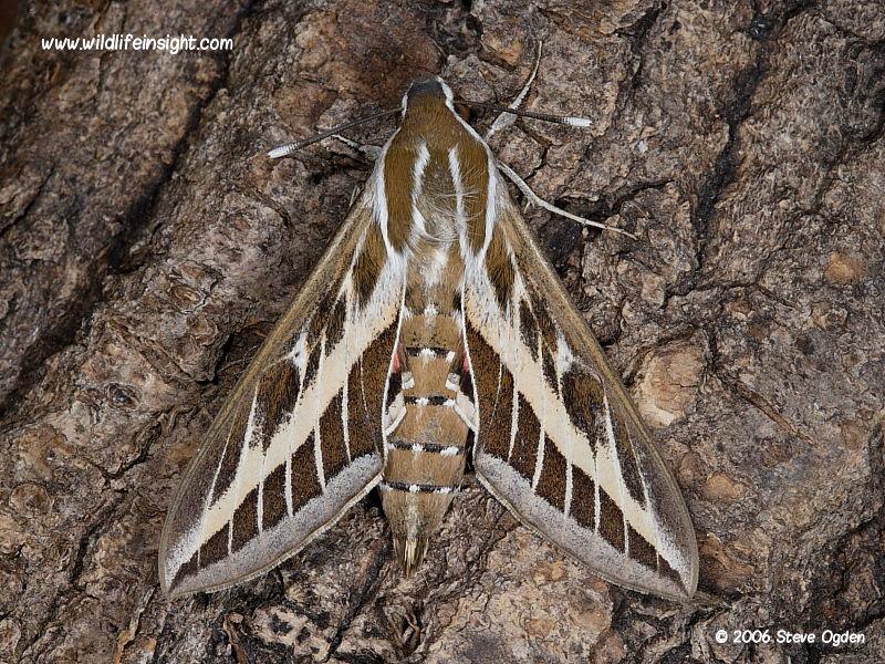 Striped Hawk-moth (Hyles livornica) © 2006 Steve Ogden