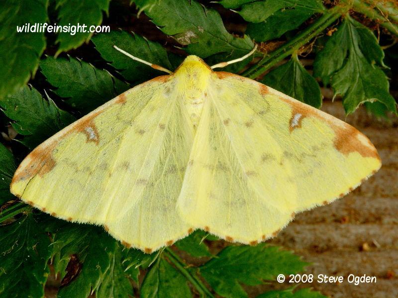 The Brimstone Moth Opisthograptis luceolata © 2008 Steve Ogden