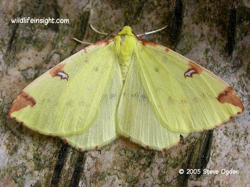 The Brimstone Moth Opisthograptis luceolata © 2005 Steve Ogden