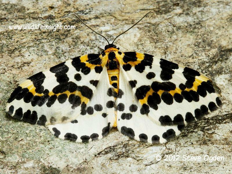 The Magpie Moth  (Abraxas grossulariata) © 2012 Steve Ogden