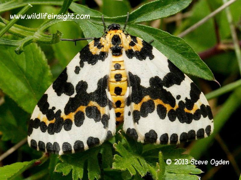 The Magpie Moth (Abraxas grossulariata) © 2013 Steve Ogden