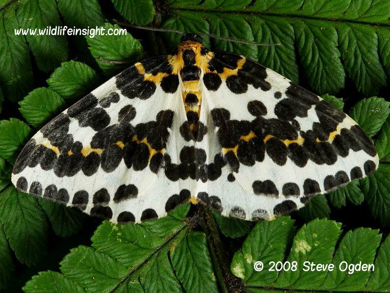 The Magpie Moth (Abraxas grossulariata) © 2008 Steve Ogden
