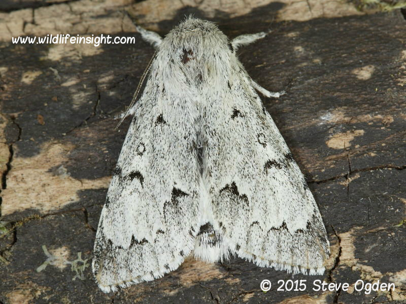 The Miller Moth (Acronicta leporine)  © 2015 Steve Ogden