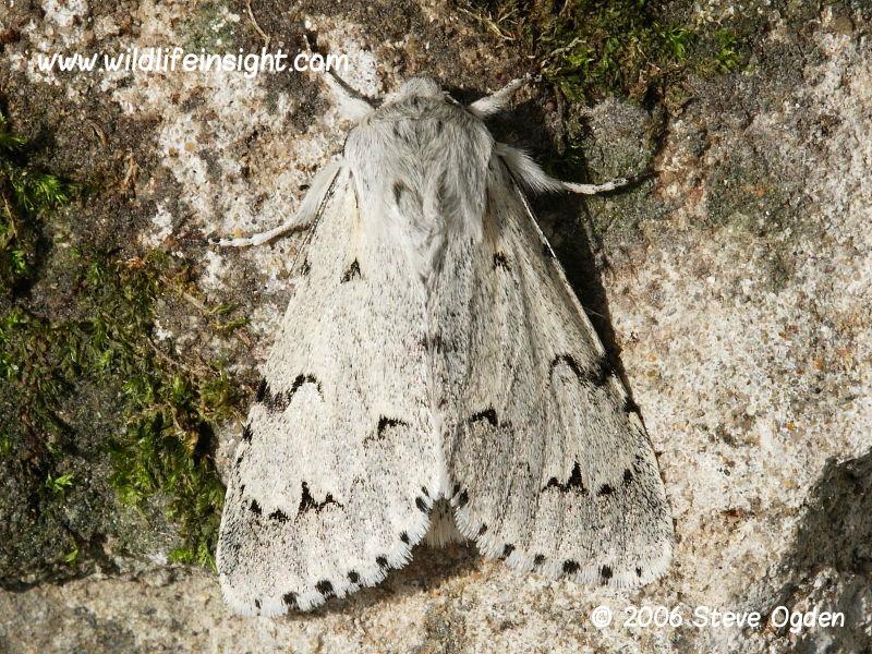 The Miller Moth (Acronicta leporine)  © 2006 Steve Ogden
