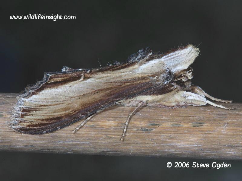 The Mullein moth (Shargacucullia verbasci) © 2006 Steve Ogden