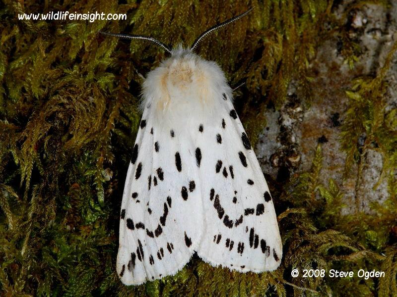 White Ermine moth Spilosoma lubricipeda © 2008 Steve Ogden