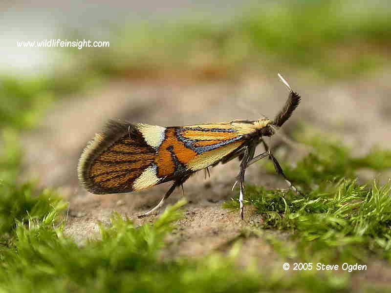 Alabonia geoffrella © 2005 Steve Ogden