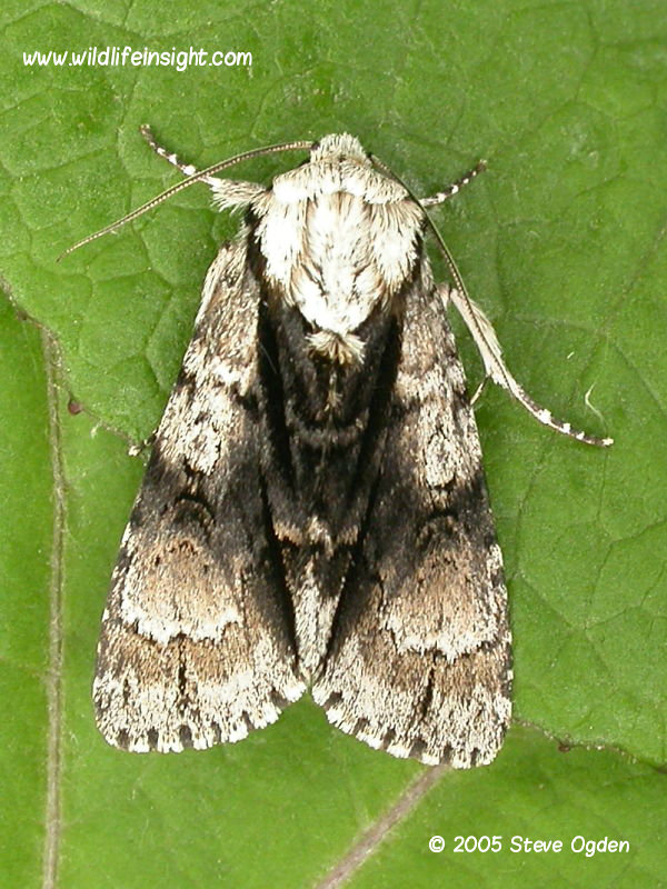 Alder moth (Acronicta alni) North somerset UK © 2006 Steve Ogden