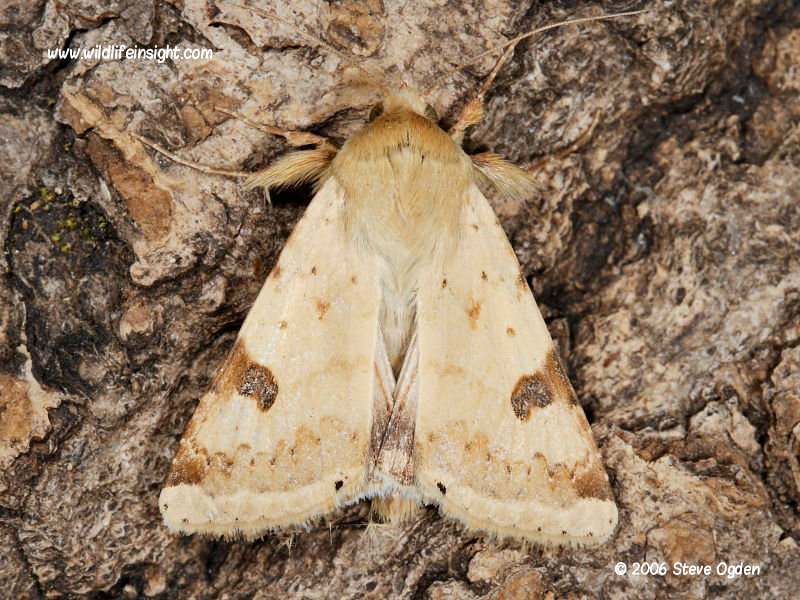 Bordered Straw moth (Heliothis peltigera) migrant attracted to light © 2006 Steve Ogden