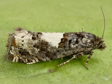1184 Epiblema scutulana or cirsiana