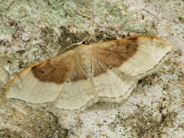 1714 Portland Ribbon Wave (Idaea degeneraria) - first generation
