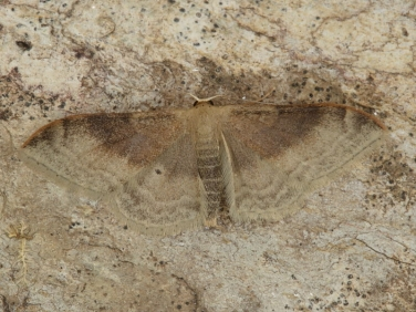 1714 Portland Ribbon Wave (Idaea degeneraria) - second generation