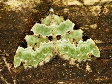 1776 Green Carpet (Colostygia pectinataria)