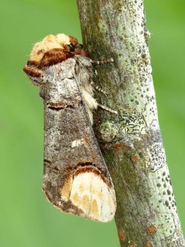 1994 Buff-tip (Phalera bucephala)