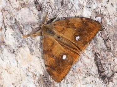 2026 The Vapourer (Orgyia antiqua) - male moth
