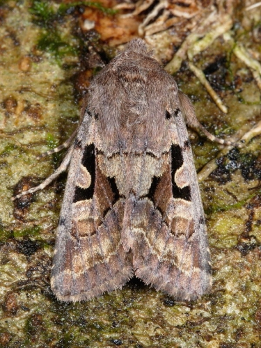2190 Hebrew Character (Orthosia gothica)
