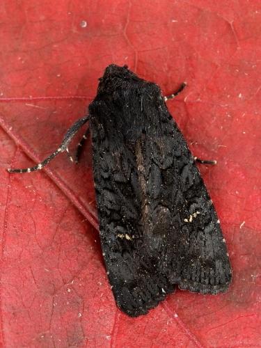 2232 Black Rustic (Aporophyla nigra)