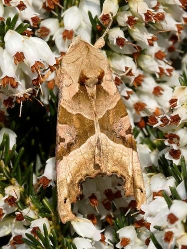 2306 Angle Shades (Phlogophora meticulosa)