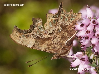 Underside of male Comma Butterfly (Polygonia c-album)