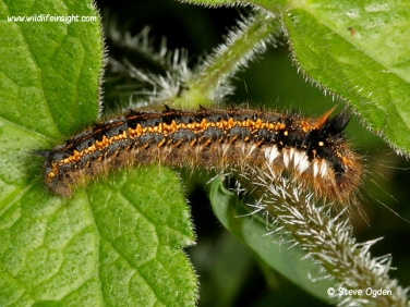 1640 Post wintering Drinker caterpillar