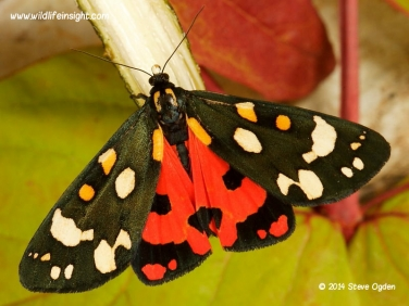 2068 Scarlet TigerMoth  (Callimorpha dominula) recently emerged