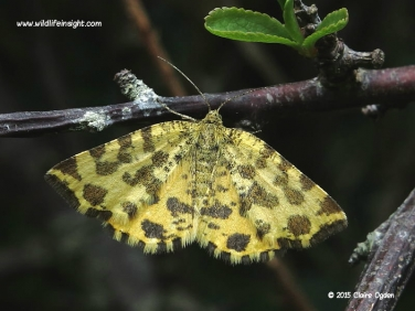 1909 Speckled Yellow (Pseudopanthera macularia) - daytime flying moth