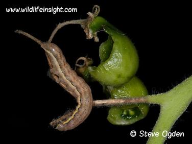 2160 Bright-line Brown-eye Tomato moth caterpillar feeding on tomatoes