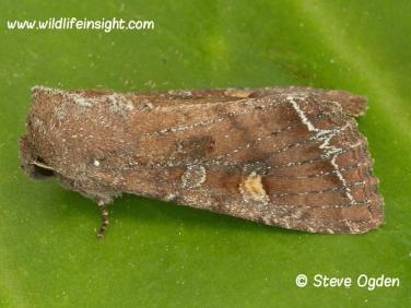2160 Bright-line Brown-eye (Lacanobia oleracea) moth