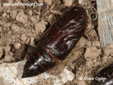 2160 Bright-line Brown-eye (Lacanobia oleracea) moth unearthed pupa