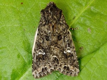 2154 Cabbage Moth (Mamestra brassicae)